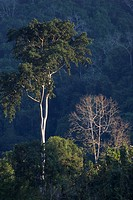 Hardwood trees grow in the jungle along the Mekong River above LUANG PROBANG _ LAOS