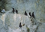 a SEAGULL nesting amidst the COMMON MURRES _ CHISELL ISLANDS, FJORDS NATIONAL PARK, ALASKA