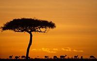 Africa, Kenya, Impala antelopes at sunset in the Masai Mara