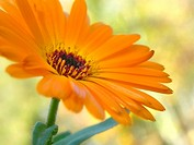 Calendula, Calendula officinalis, flower