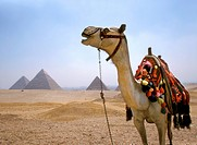 Camel by Cheops, Chephren and Micerinus pyramids, Egypt