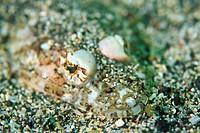 Close up of a sandsmelt Harlequin fish, Shizouka, Japan