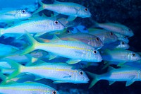 Large group of Yellowfin Goatfish swimming underwater, Midway, USA
