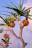 Tropical plant, screw pine pandanus