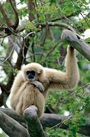 North America, USA, Florida, Miami, Gibbon in zoo