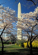 Washington Monument, Washington, DC, District of Columbia, capital city, Cherry blossoms surround the Washington Monument in the spring in Washington,...