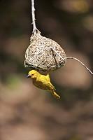 Southern Masked Weaver velatus ploceus