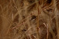 Lioness Panthera leo in grass, Pilanesberg Game Reserve, North West Province, South Africa