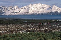 King PenguinAptenadytes patagonica rookery, Bay of Isles, Sailsbury Plain, South Georgia