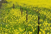 A fence in a field of yellow mustard near Modesto California.