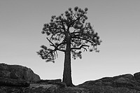 A silhouette of a pine tree near Lake Tahoe in California