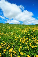 a field of buttercups and green grass with sky and clouds