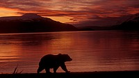 USA, Alaska, Katmai National Park, Naknek Lake, Brooks Camp Brown Bear Silouette at sunrise