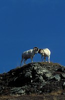 USA, Alaska, Denali National Park, Mt. Wright, Park Road, Dall Sheep Rams fighting Ovis dalli dalli vertical image