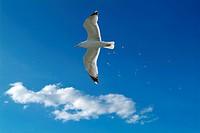 Seagull flying Larus argentatus