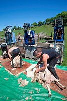 UK, Kent, Romney Marsh, Sheep Shearing