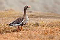 Greater White_fronted Goose Anser albifrons walking on grass