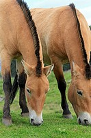 Przewalski´s Horse  Equus przewalskii  Order: Perissodactyla  Family: Equidae.