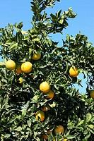 USA, California, Kern county, Oranges hanging on orange tree in orange grove