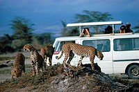 Safari minibus with tourists photographing family of cheetahs citrakaya tiger in Zimbabwe