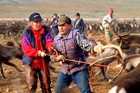 Lapps or Samiis above Arctic Circle in Sweden using ropes to lasso reindeer for ear marking and castration