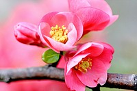 Flowering quince, Chaenomeles on a branch  Close up  Pink flowering plant with sharp thorns  Very sweet smelling plant  The plant bears a yellow aroma...