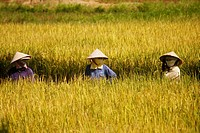 Women at work in a rice field, Vietnam