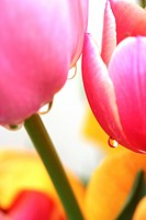 Droplets in a tulip flower