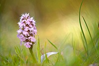 Italy, Sardinia, milky orchid Orchis lactea