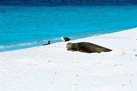 Sea Lion, Hawaiian Monk Seal, Midway, Hawaii