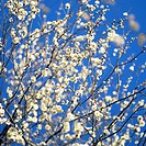 A Japanese plum tree