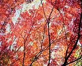 Low angle view of maple trees