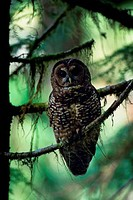 USA, WASHINGTON, OLYMPIC NATIONAL FOREST, OLD GROWTH RAIN FOREST, SPOTTED OWL, ENDANGERED