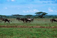 TANZANIA, SERENGETI, PLAIN WITH MIGRATING WILDEBEESTE