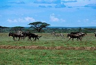 TANZANIA, SERENGETI, PLAIN WITH MIGRATING WILDEBEESTE AND ZEBRAS