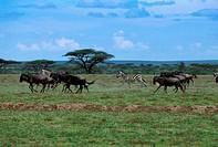 TANZANIA, SERENGETI, PLAIN WITH MIGRATING WILDEBEESTE AND ZEBRAS