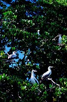 SEYCHELLES, ALDABRA IS., RED_FOOTED BOOBIES