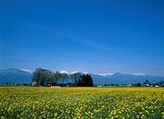 Rape Blossoms, Nagano, Japan
