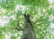 Beech Big Tree, Shirakami_Sanchi, Aomori, Japan