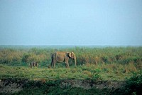 INDIA, ASSAM , KAZIRANGA N.P., ASIAN ELEPHANT WITH BABY