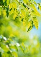 Green Leaves, Tochigi, Japan