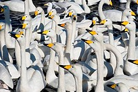 JAPAN, HOKKAIDO ISLAND, NEAR ABASHIRI, WHOOPER SWANS Cygnus cygnus, WAITING FOR FOOD