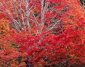 Autumn Leaves, Nagano, Japan