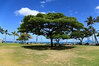Big Tree In Beach Resort, Honolulu, Hawaii, U.S.A.
