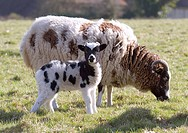 Jacobs sheep with lamb