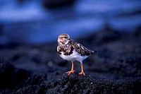 SOUTH AMERICA, ECUADOR, GALAPAGOS ISLAND, NORTH SEYMOUR ISLAND, RUDDY TURNSTONE