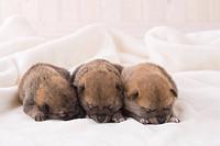 Three shiba sleeping on a blanket