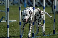 Dalmatian manuevers through weave obstacle at a dog agility trial.