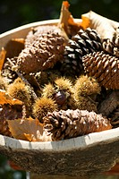 Sweet chestnuts in their prickly cases and assorted cones