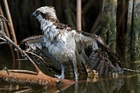 Soaking wet fledgling osprey clings to mangrove trees after falling during flight, Everglades National Park, Florida
